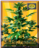 Freedom of Seeds Auto Big Domina Fem 3 Seeds